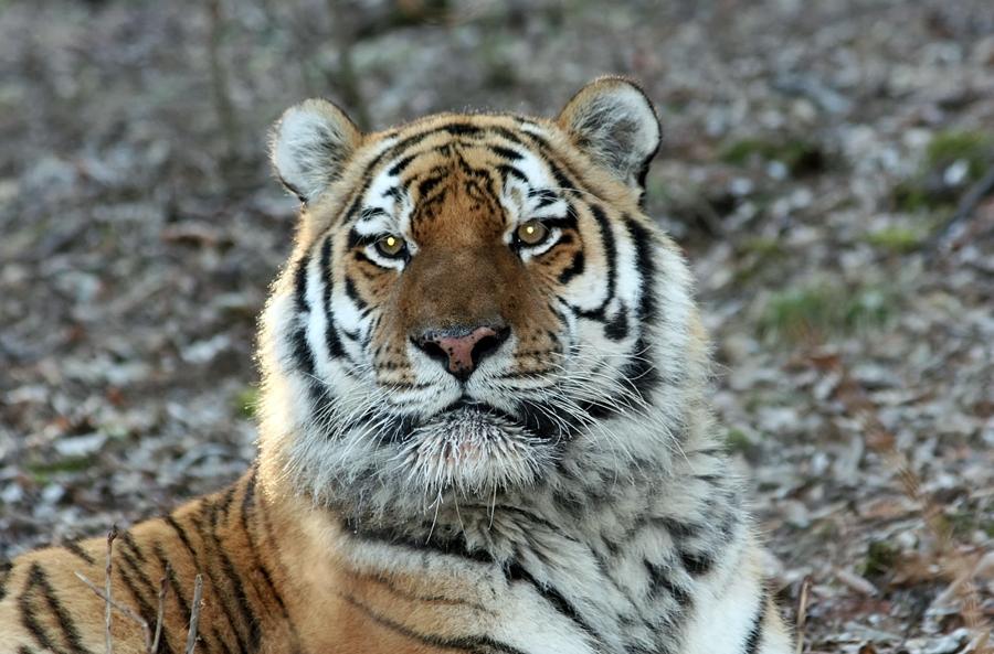 картинки амурского тигра