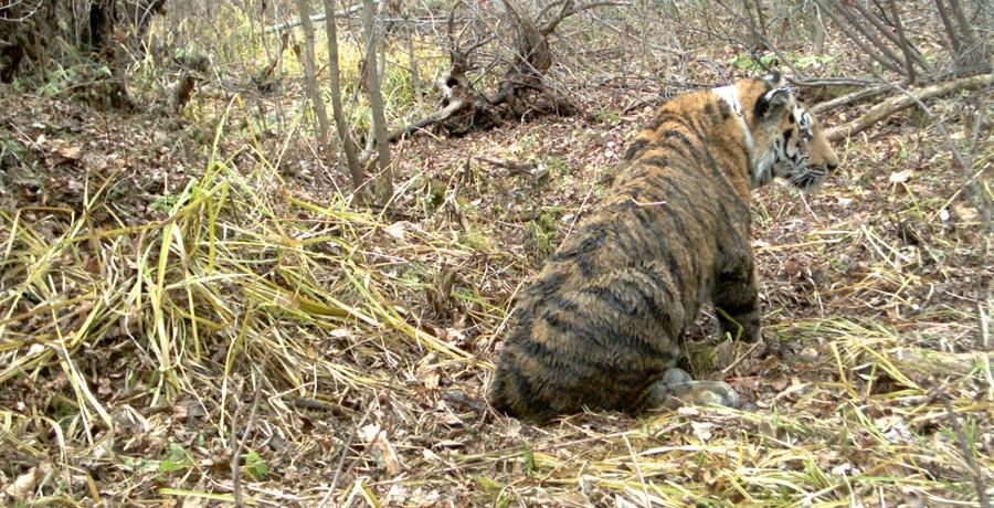 Как охраняют Амурского тигра  Страница Виртуальных