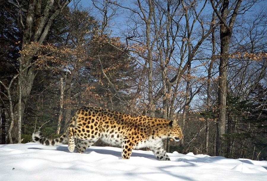 The Far Eastern Leopard Programme