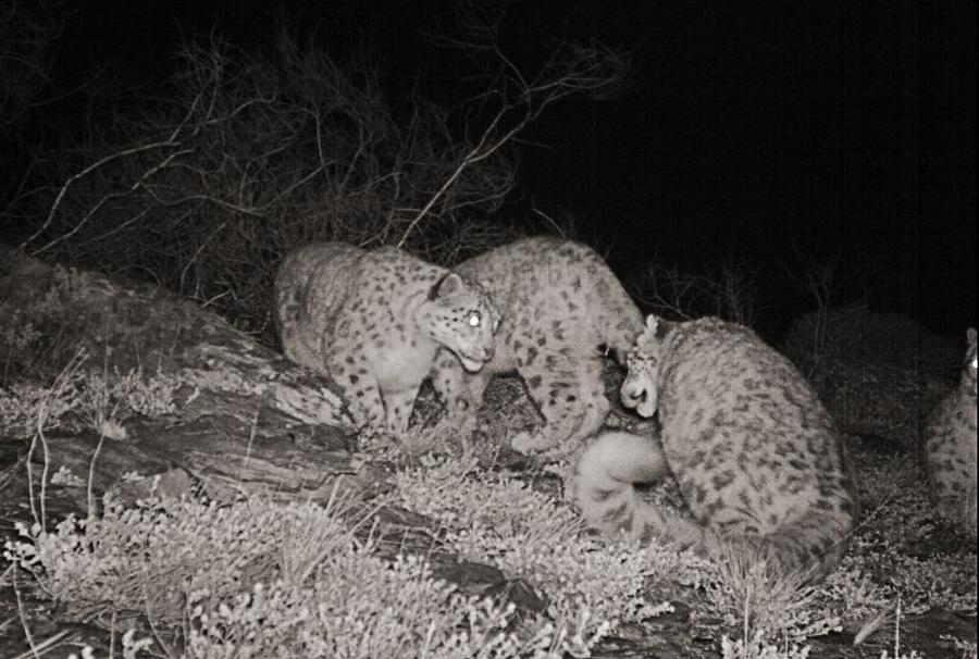 The Snow Leopard Programme